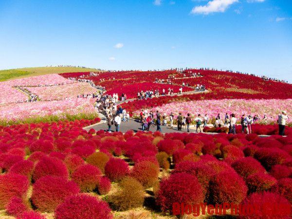 Kinh nghiệm du lịch Nhật Bản. Công viên Hitachi địa điểm nổi tiếng ở Nhật Bản