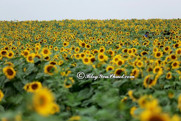 Mùa hoa nở đẹp nhất vào tháng 10- Hoa hướng Dương: Đi ngắm hoa ở đâu vào tháng 10 đẹp nhất?