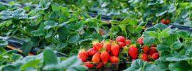 Những vườn dâu tây đẹp ở Đà Lạt cho dân phượt ưa khám phá