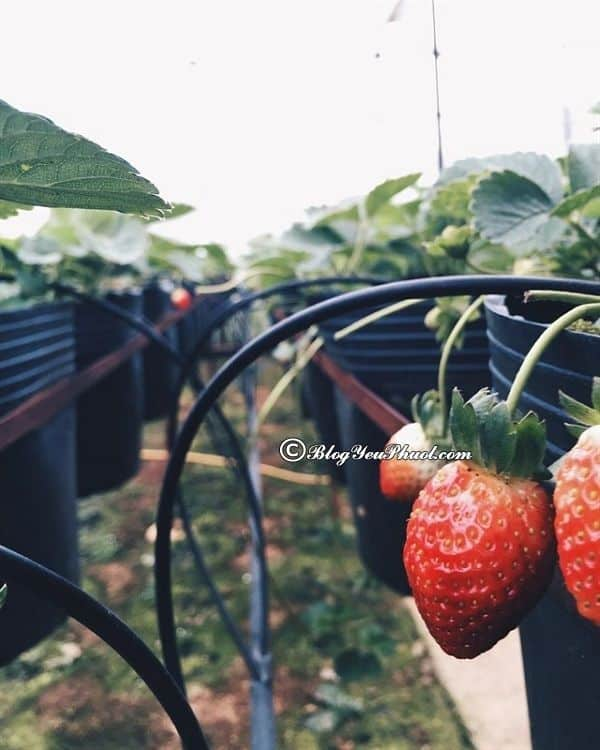 Vườn dâu Đà Lạt - chụp hình vườn dâu Đà Lạt: Địa điểm chụp ảnh, check in cực đẹp khi tới Đà Lạt du lịch