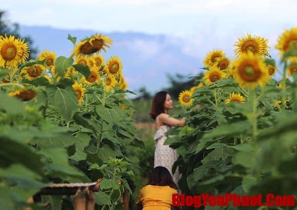 Kinh nghiệm đi vườn hoa bãi đá Sông Hồng. Chụp ảnh vườn hoa hướng dương ở bãi đá Sông Hồng